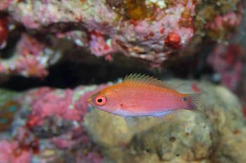 ゴシキイトヒキベラ幼魚