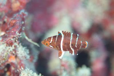ヤシャベラ幼魚