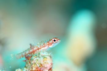 ハナグロイソハゼ幼魚