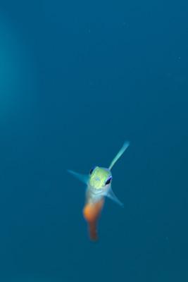 ハタタテハゼ幼魚