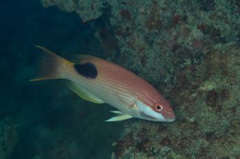 キツネベラ成魚