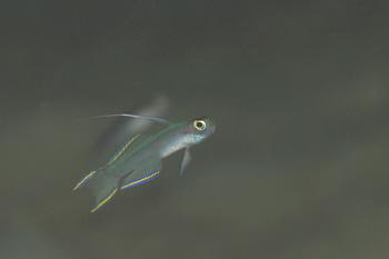 ヒレナガモエギ