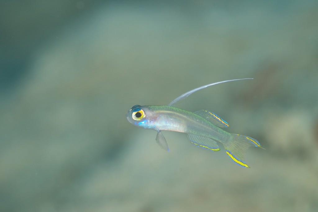 ヒレナガモエギ幼魚