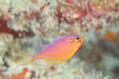 ハナゴンベ幼魚