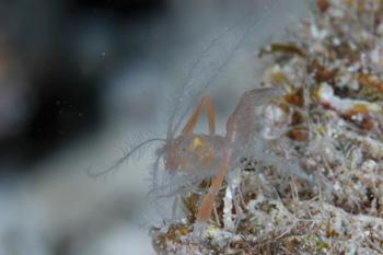 サンゴヒメエビsp