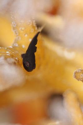 クロダルマハゼ幼魚