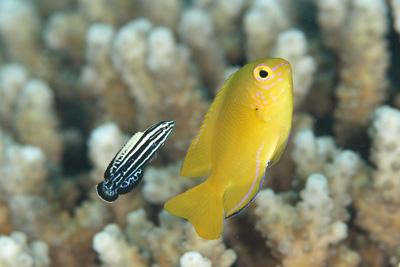 ミヤケベラ幼魚のクリーニング