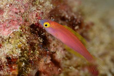 オグロベラ幼魚