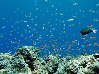 タカサゴスズメダイとキンギョハナダイ幼魚