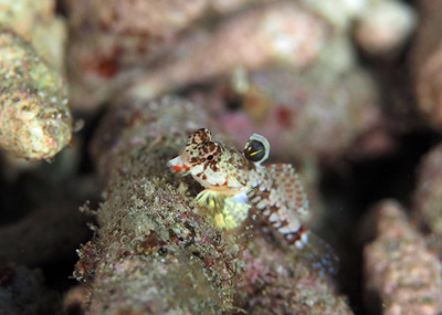 ミヤケテグリ幼魚