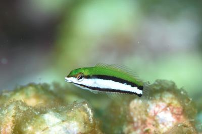 クギベラ幼魚