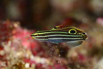 キンセンハゼ成魚
