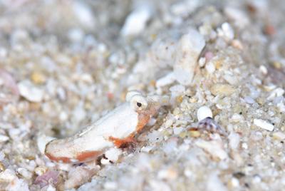 サンゴハナビヌメリ