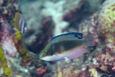 トモシビイトヒキベラオス
