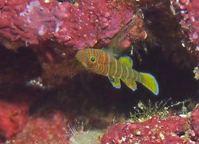 ベンケイハゼ幼魚