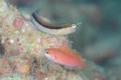 クロヘリイトヒキベラ幼魚