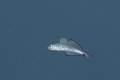 クロユリハゼ幼魚