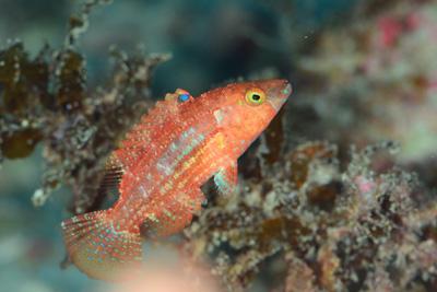 タコベラ幼魚