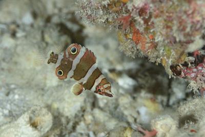 ハシナガベラ幼魚
