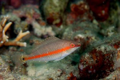 キツネブダイ幼魚