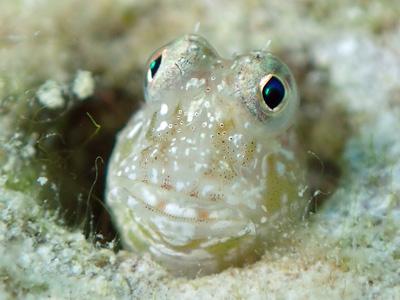 ヤイトギンポ幼魚