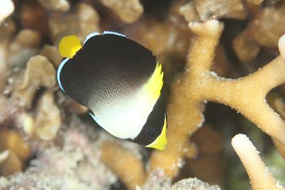 チリメンヤッコ幼魚