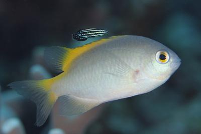ミヤケベラ幼魚とアサドスズメダイ