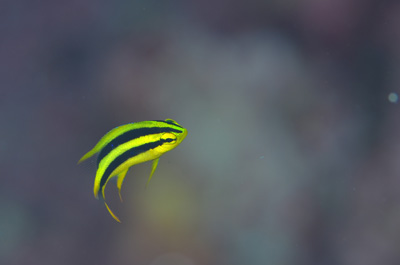 ヒレナガスズメダイ幼魚