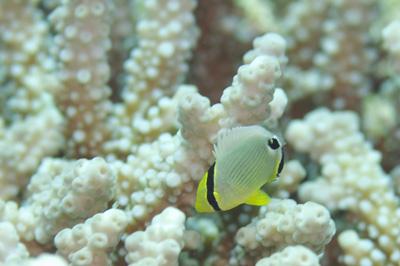 ミスジチョウチョウウオ幼魚