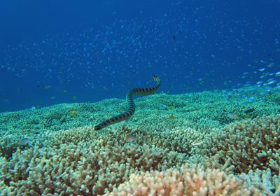ウミヘビとサンゴ