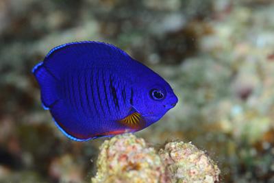 ルリヤッコ幼魚