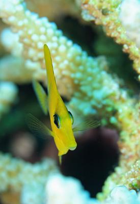 ゴマハギ幼魚