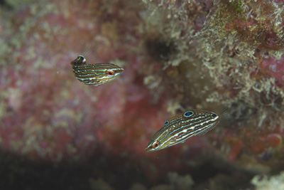 カザリキュウセン幼魚