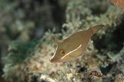 フチドリカワハギ幼魚