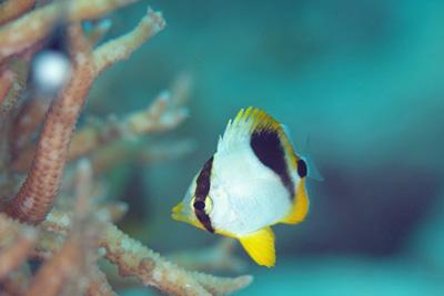 セグロチョウチョウウオ幼魚