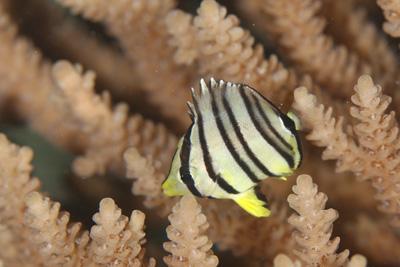 ヤスジチョウチョウウオ幼魚