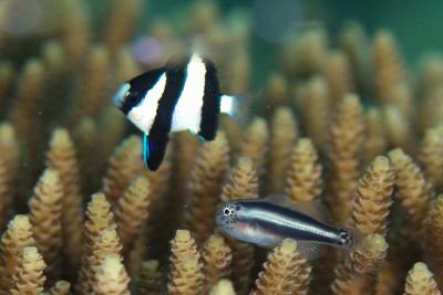 イチモンジコバンハゼ幼魚