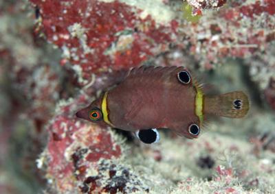 ハシナガベラ成魚