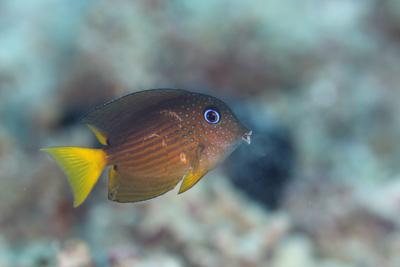 コクテンサザナミハギ幼魚