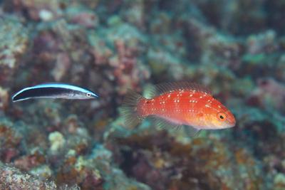 ツキノワイトヒキベラ幼魚