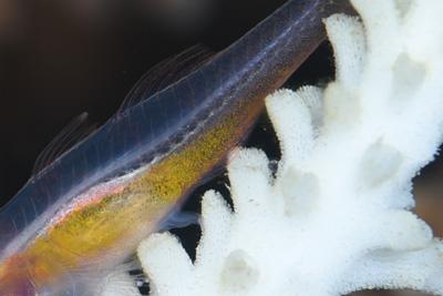 アカメハゼ産卵