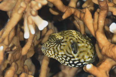 ケショウフグ幼魚