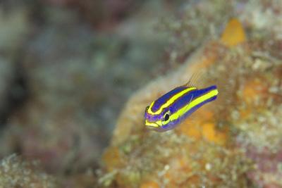 ヤクシマキツネウオ幼魚
