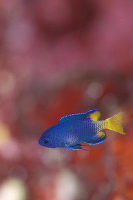 フィリピンスズメダイ幼魚