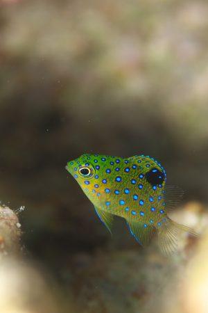 ルリホシスズメダイ幼魚