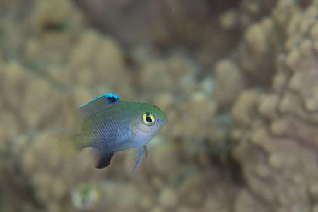 ヨロンスズメダイ幼魚