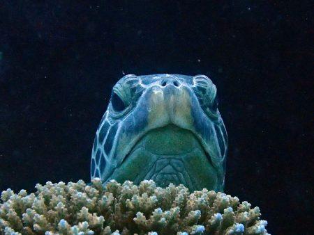 アオウミガメの顔
