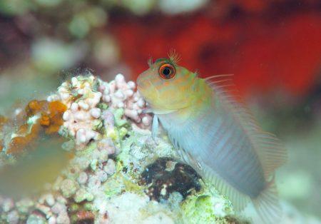 タテガミカエルウオ若魚