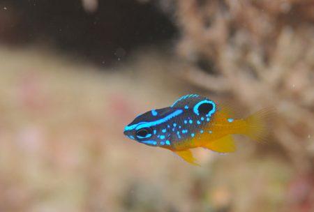 スズメダイモドキ幼魚