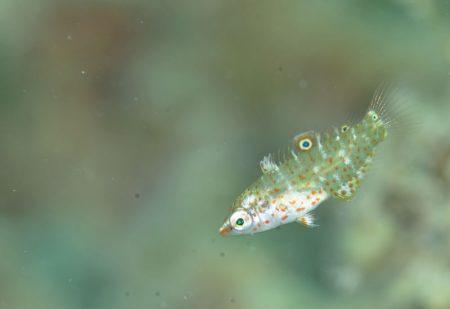 シチセンムスメベラ幼魚